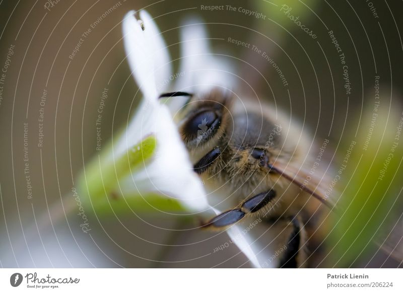 Bee careful! Environment Nature Animal Summer Plant Flower Blossom Wild plant Operational Diligent Collection Feeler White Insect Compound eye Nectar Honey