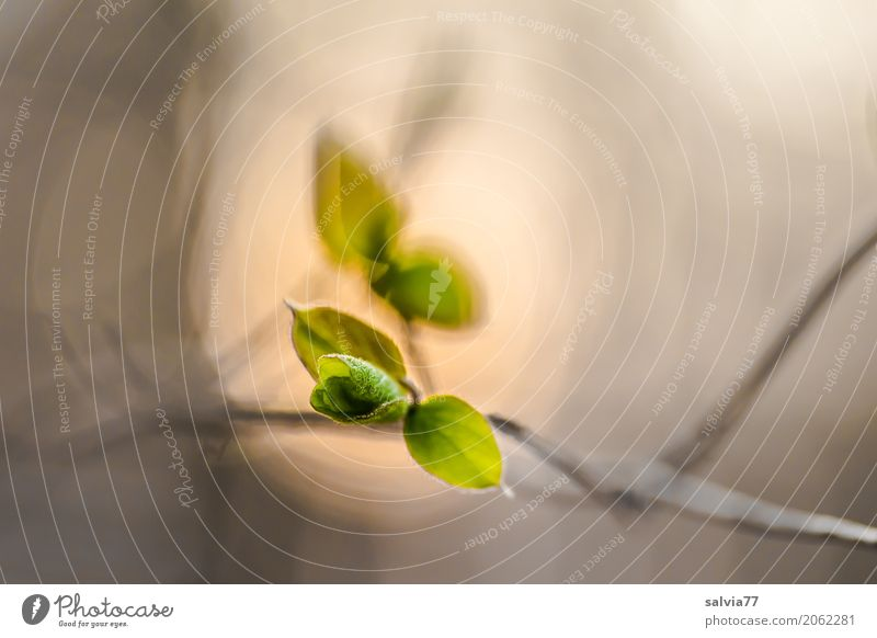 unfolding Nature Plant Spring Bushes Leaf Wild plant Twig Forest Growth Positive Brown Gray Green Beginning Esthetic Hope Life Moody Change Light Sunset Sprout