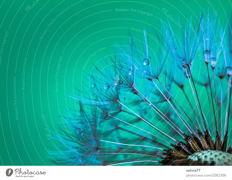dandelion Nature Plant Spring Blossom Dandelion Seed Esthetic Small Soft Green Design Ease Dew Drops of water Propagation Colour photo Exterior shot