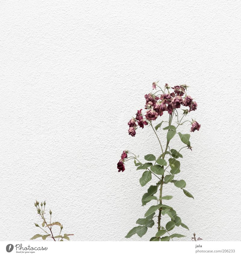 Withered Plant Flower Rose Facade Green Pink White Faded Colour photo Exterior shot Deserted Copy Space top Neutral Background Day Large Small Leaf Nature