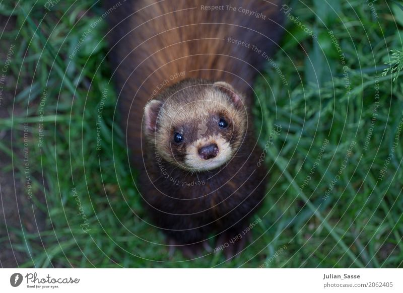 Nature Animal Clouds Baby animal Natural Grass Wild animal Curiosity Lawn Pelt Green space Button eyes Western polecat