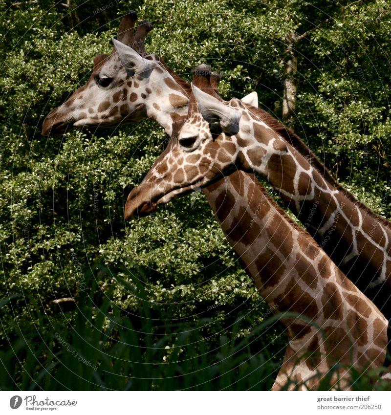 Green Summer Calm Animal Forest Brown Pair of animals Stand Animal face Curiosity Observe Pelt Zoo Neck Giraffe