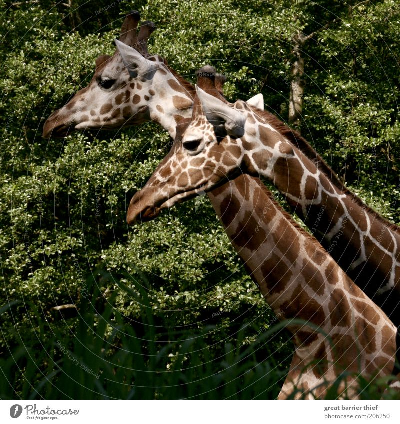 The rest of the whole Summer Forest Animal Animal face Zoo 2 Pair of animals Observe Stand Curiosity Brown Green Calm Giraffe Neck Colour photo Multicoloured