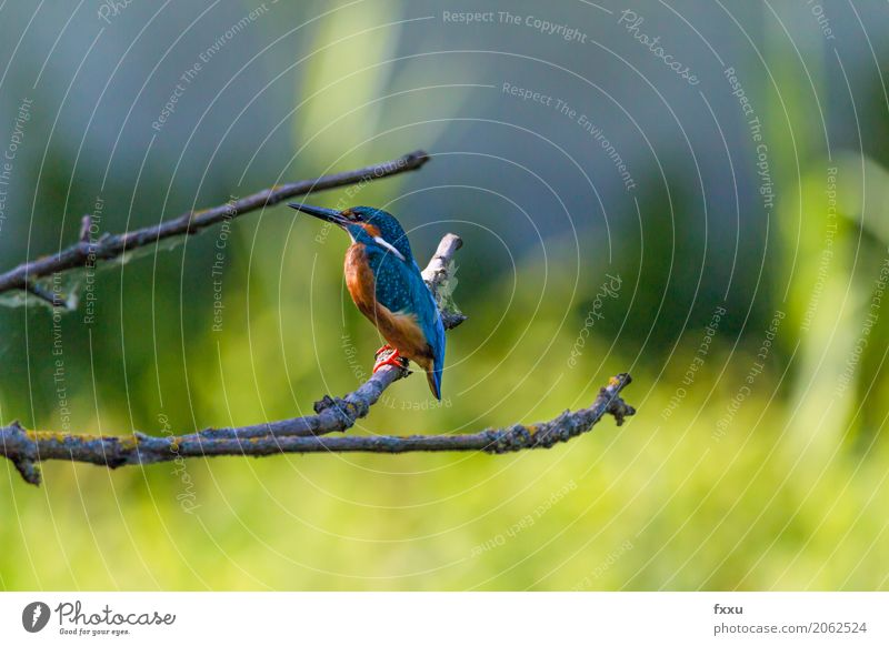 kingfisher Environment Nature Tree Grass Leaf Animal Wild animal Bird Kingfisher 1 Discover Sit Blue Multicoloured Gold Green Orange Dependability