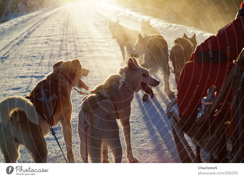 Adventure with sleddogs Hunting Sled dog Sled dog race Freedom Expedition Winter Snow Winter sports Sleigh Nature Sunlight Fog Ice Frost Norway Dog sledge Herd