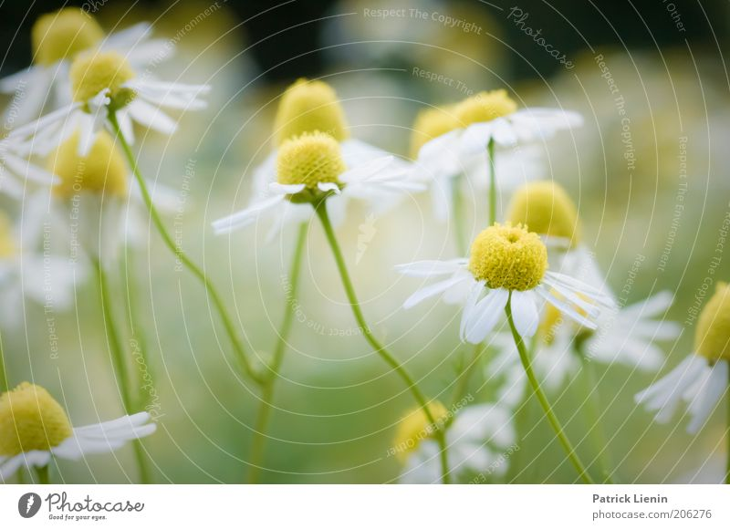 Nature Beautiful White Flower Green Plant Summer Yellow Blossom Healthy Herbs and spices Blossoming Fragrance Odor Macro (Extreme close-up) Chamomile