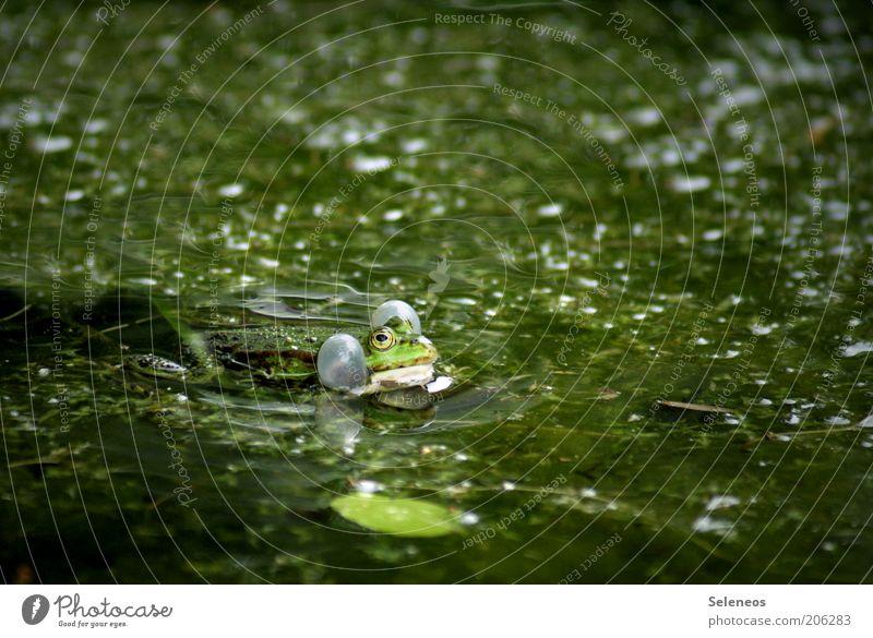 Nature Water Green Plant Summer Animal Environment Wet Animal face Frog Breathe Pond Bog Marsh Rutting season