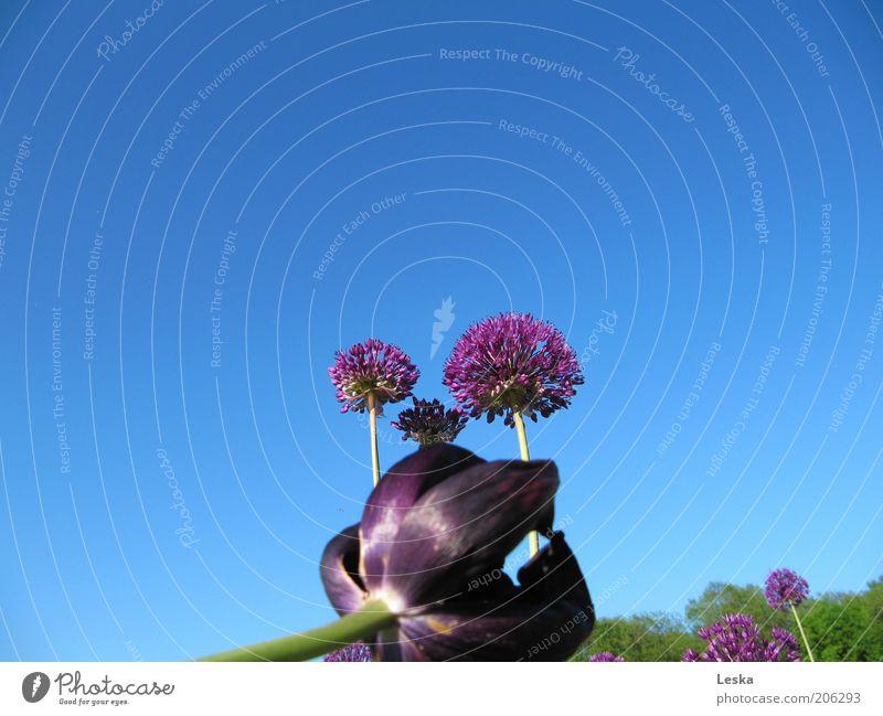 Nature Sky Flower Blue Plant Summer Colour Blossom Elegant Esthetic Authentic Violet Uniqueness Fragrance Beautiful weather Tulip