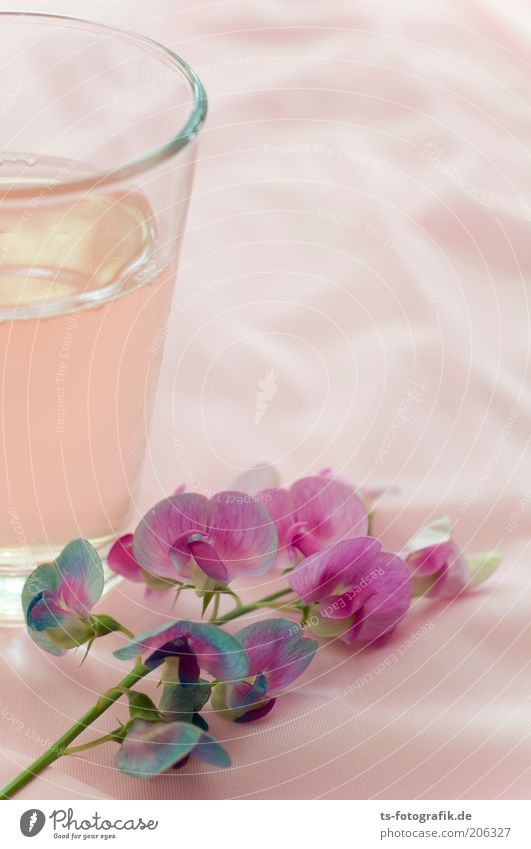 Beautiful Plant Flower Cold Blossom Glass Pink Fresh Esthetic Beverage Soft Violet Still Life Alcoholic drinks Exotic