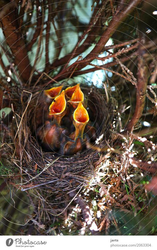 childcoar II Wild animal Bird 4 Animal Baby animal Scream Funny Natural Nature Sing Appetite Blackbird Nest Colour photo Multicoloured Close-up Deserted