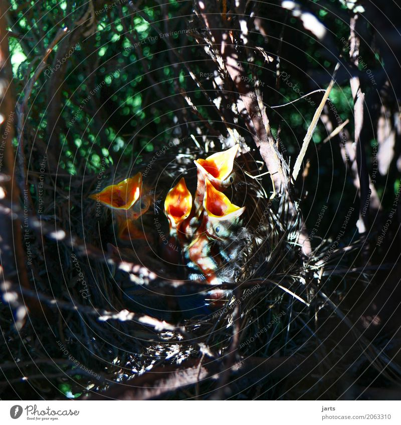 hunger Tree Garden Park Forest Animal Wild animal Bird 4 Group of animals Baby animal Scream Funny Natural Nature Blackbird Nest Appetite Colour photo