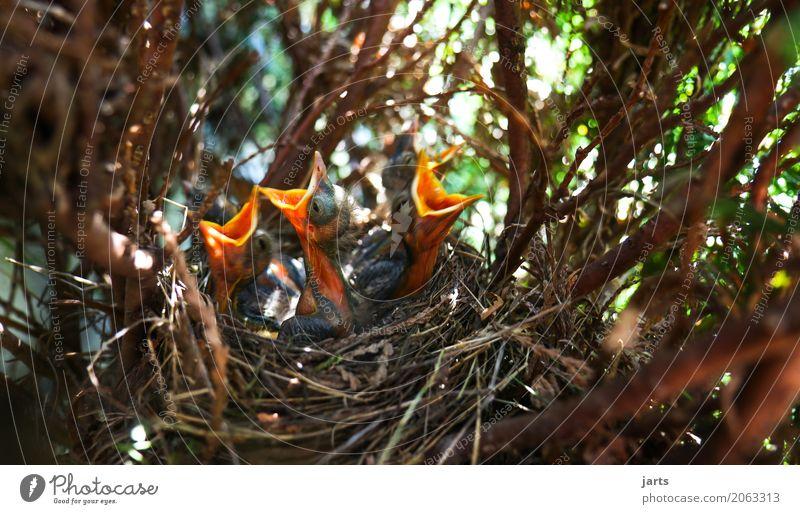 screaming necks Animal Wild animal Bird 4 Baby animal Scream Natural Appetite Thirst Nature Blackbird Squaller Nest Beak Tree Bushes Colour photo Multicoloured