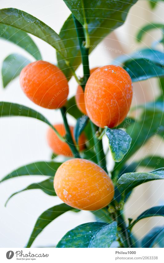Apricots on a branch Nature Plant Summer Green White Tree Flower Red Leaf Yellow Blossom Natural Food Pink Fruit Fresh