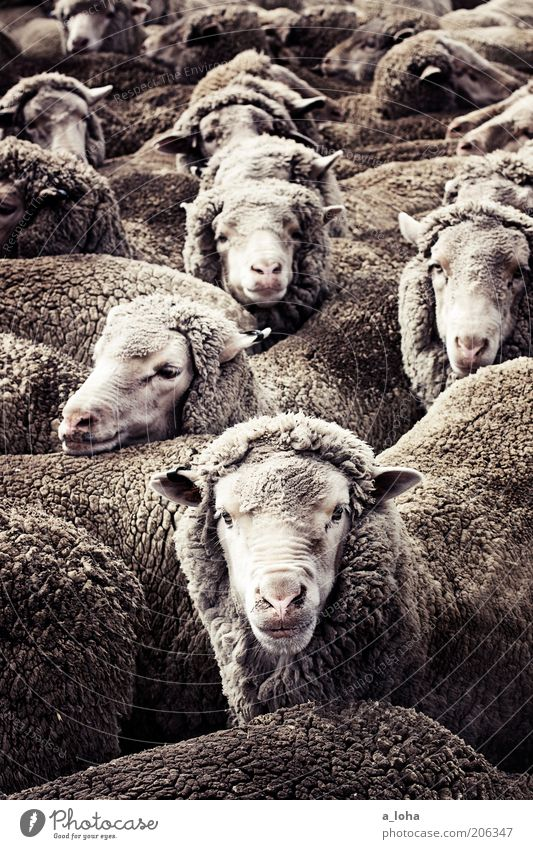 counting sheep Farm animal Pelt Sheep Flock Group of animals Herd Looking Stand Wait Curiosity Warmth Gray Interest Claustrophobia Bizarre Chaos Expectation