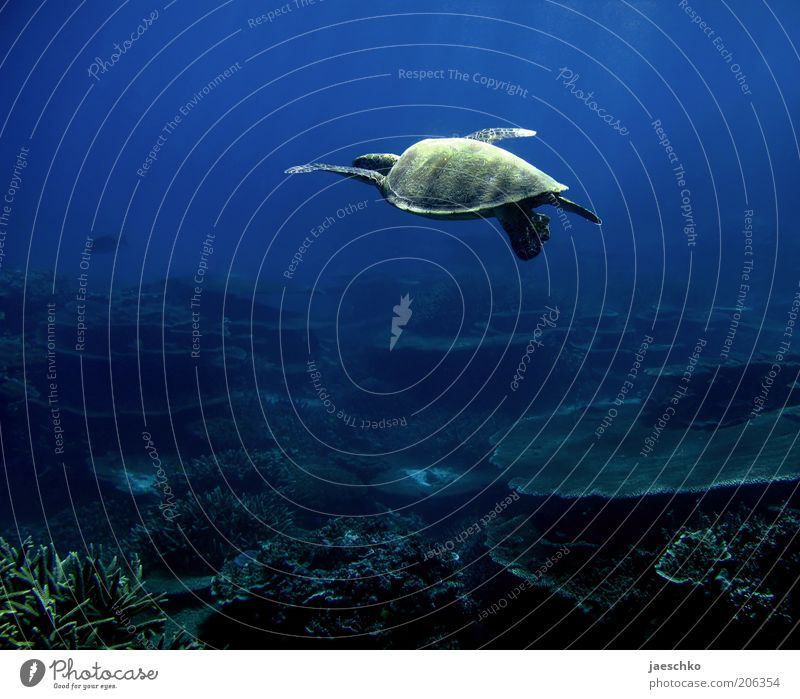 how to fly Coral reef Ocean Turtle 1 Animal Esthetic Contentment Movement Loneliness Elegant Freedom Serene Uniqueness Ease Nature Vacation & Travel