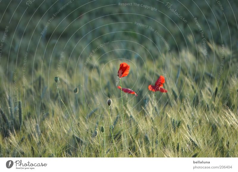 red spots Environment Nature Plant Summer Weather Beautiful weather Wind Warmth Flower Blossom Agricultural crop Wild plant Field Poppy Poppy blossom Grain