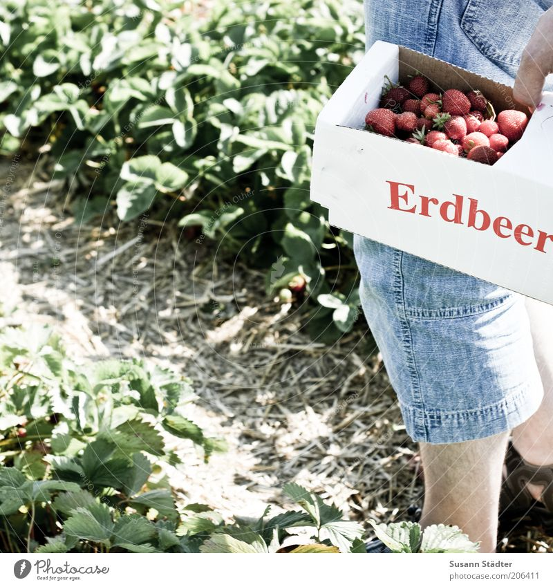 Man Plant Summer Nutrition Legs Fruit Fresh Jeans Mature Harvest Collection Organic produce Strawberry Carrying Basket Food
