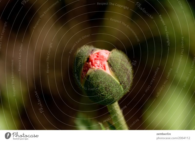 Papaver rhoeas Flower Blossoming Relaxation Vacation & Travel Garden Garden plot Garden allotments Bud Leaf bud Deserted Nature Plant Calm Summer Copy Space