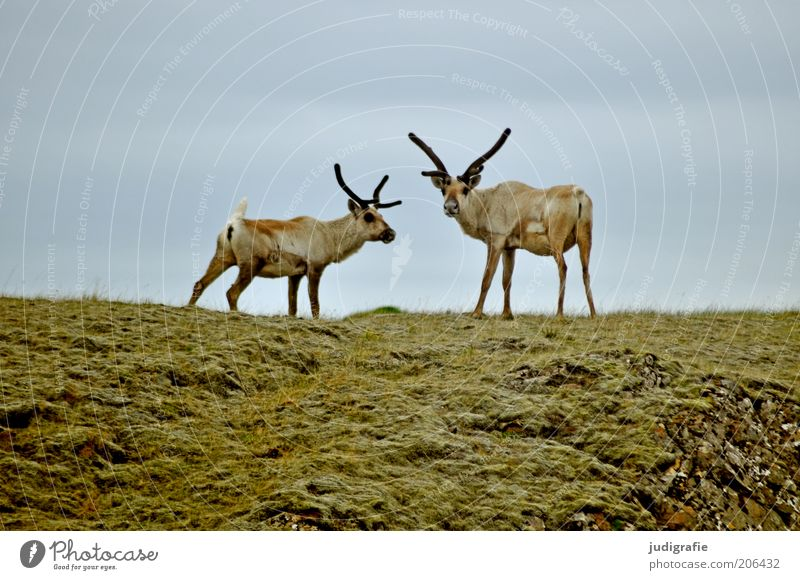 Nature Sky Animal Grass Pair of animals Environment Stand Observe Natural Hill Wild animal Iceland Reindeer