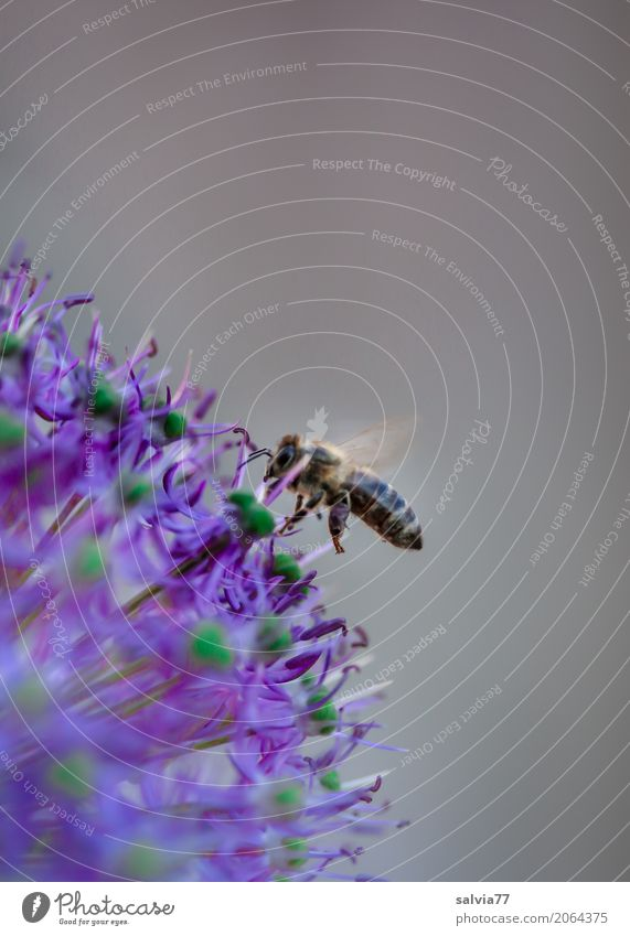 Nature Animal Environment Garden Gray Work and employment Flying Blossoming Wing Target Violet Insect Pet Bee Fragrance Mobility