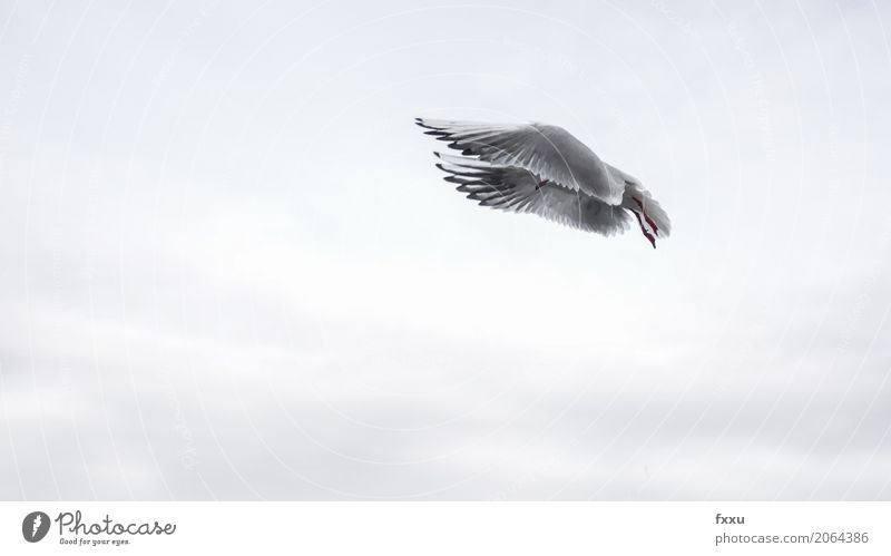 flying seagull Animal Bird Seagull Flying Ease Hide Covered Colour photo Subdued colour Exterior shot Copy Space bottom Copy Space middle Animal portrait
