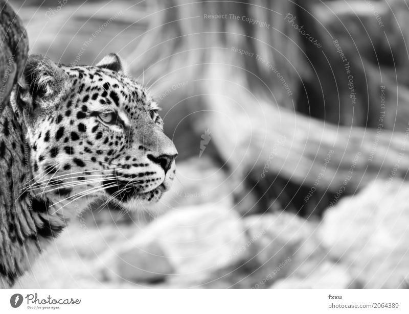 leopard Nature Animal Cat Panther 1 Power Curiosity persian leopard Black & white photo Portrait photograph Close-up Expression Elegant Pride Head Watchfulness
