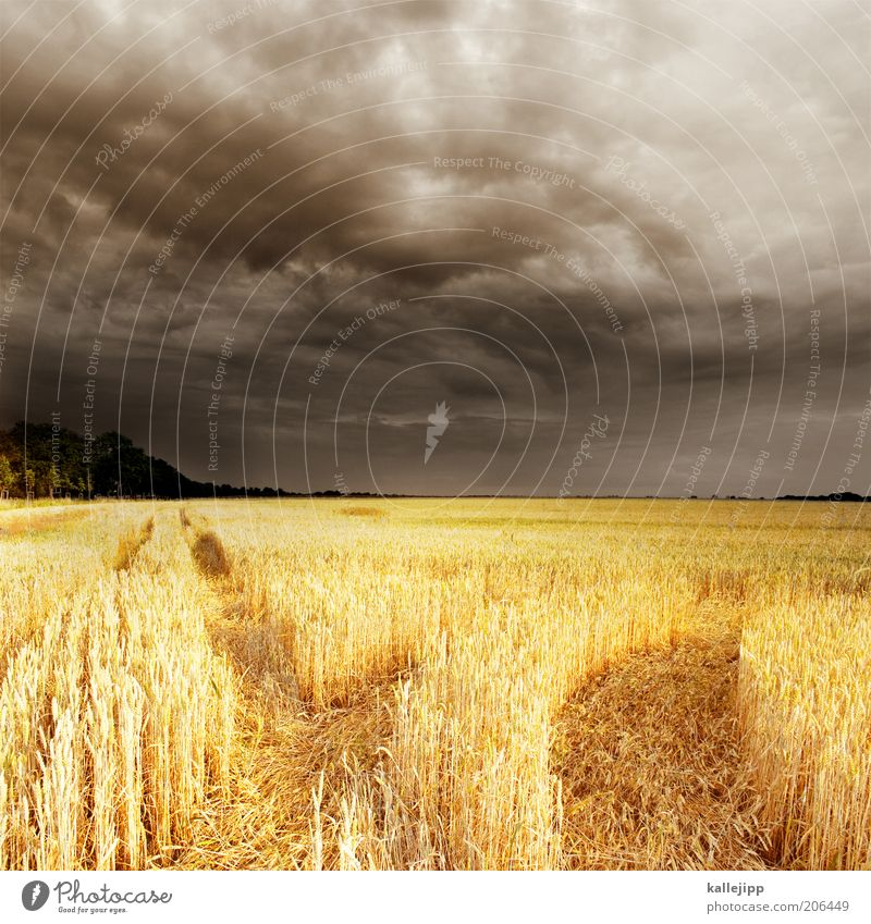 fields of gold Economy Sky Clouds Summer Climate Weather Storm Thunder and lightning Plant Agricultural crop Field Grain Wheatfield Rye field Tractor track