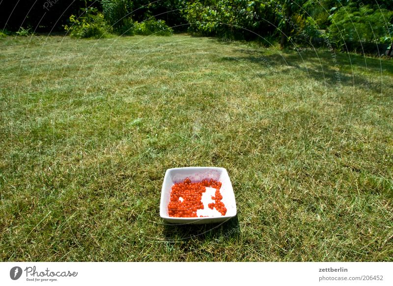 Nature Plant Red Summer Meadow Grass Garden Park Bowl Fruit Agricultural crop Redcurrant Picked