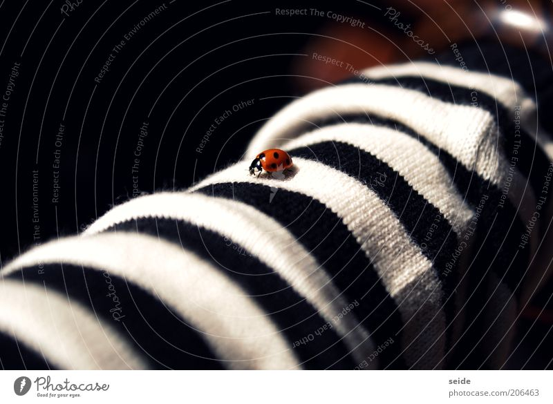 dotted on striped Clothing Striped Beetle Ladybird 1 Animal Small Red Black White Calm Spotted Fine Colour photo Deserted Contrast Good luck charm