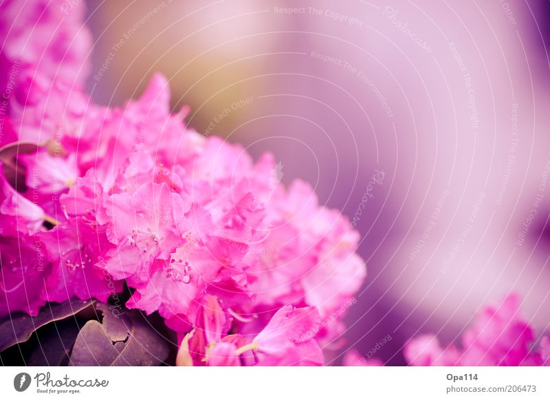 Nature Flower Plant Summer Colour Blossom Spring Pink Fresh Soft Violet Blossoming Exotic Environment Rhododendrom
