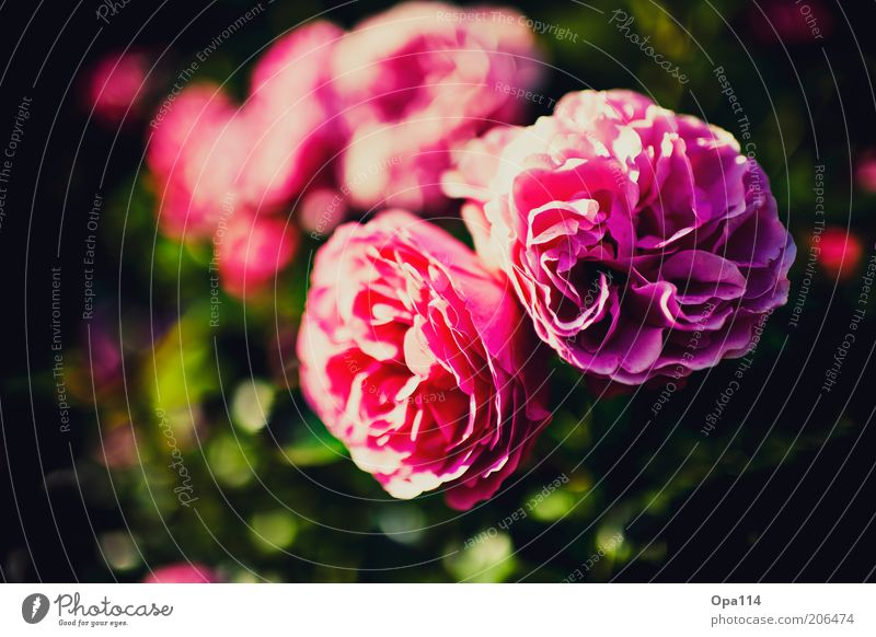 a rose is still a rose Plant Spring Summer Flower Rose Blossom Fragrance Soft Violet Pink Beautiful Esthetic Colour photo Multicoloured Exterior shot Close-up
