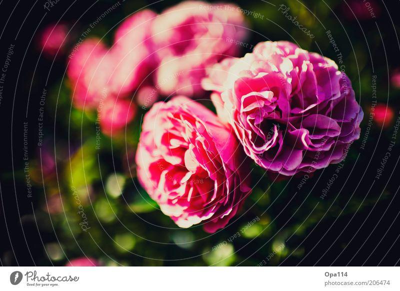 Beautiful Flower Plant Summer Blossom Spring Pink Rose Esthetic Soft Violet Fragrance Blossom leave
