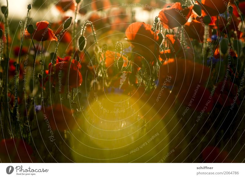 Nature Plant Summer Sun Flower Red Leaf Blossom Field Bushes Beautiful weather Poppy Blossom leave Poppy field Poppy blossom Poppy capsule