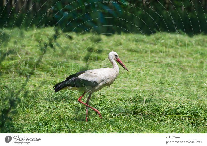 Plant Green Animal Meadow Bird Going Field Wild animal Stride Stork Hay Stride bird Foraging White Stork