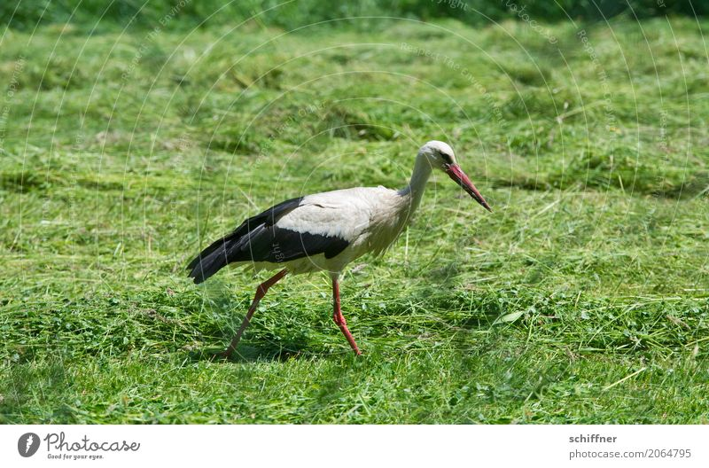 Green Animal Meadow Bird Going Field Baby Search Stride Stork Foraging Insulted