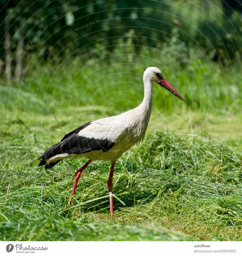 Postman looking for bicycle Animal Bird 1 Going Green Stride Search Foraging Stork Meadow Grass Field Baby Exterior shot Deserted