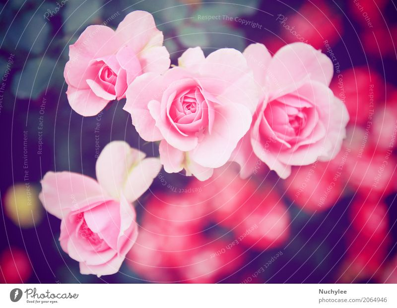 Pink rose in garden Summer Feasts & Celebrations Valentine's Day Nature Flower Leaf Blossom Bouquet Blossoming Love Fresh Bright Retro Romance Colour Nostalgia