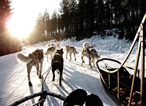 Adventure with sleddogs Sled dog Sled dog race Dog sledge Husky Winter sports Sleigh Ice Frost Snow Norway Lanes & trails Group of animals Pack Driving