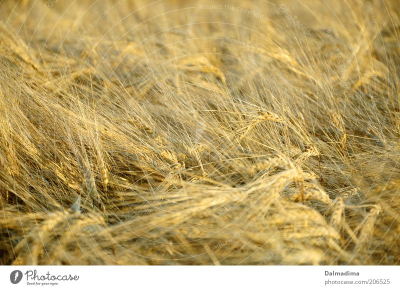 wheat field Nature Summer Plant Agricultural crop Field Esthetic Good Bright Beautiful Natural Yellow Gold Agriculture Colour photo Exterior shot Deserted