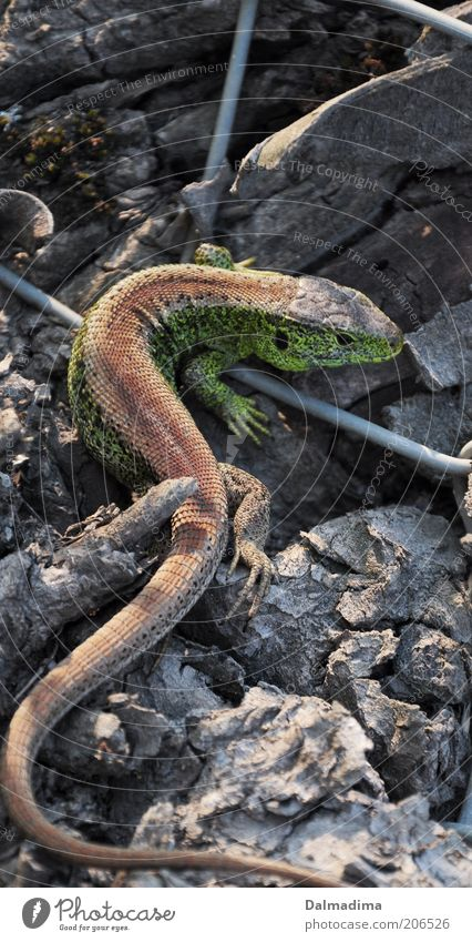 Animal Environment Discover Wild animal Reptiles Sand lizard