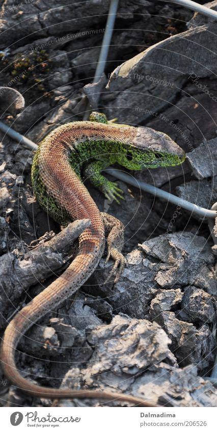 Animal Environment Discover Wild animal Reptiles Sand lizard
