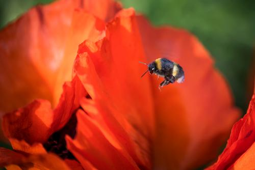 hardworking bumblebee Nature Plant Animal Summer Beautiful weather Flower Blossom Poppy blossom Pollen Garden Bumble bee 1 Blossoming Fitness Flying Esthetic