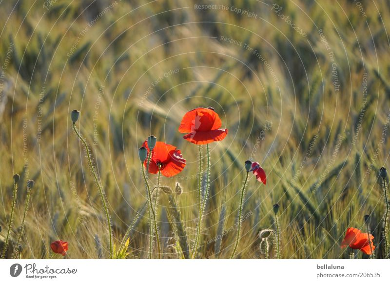 poppy seed roll Environment Nature Plant Sunlight Summer Climate Beautiful weather Warmth Flower Blossom Field Poppy Poppy field Grain Grain field Barley