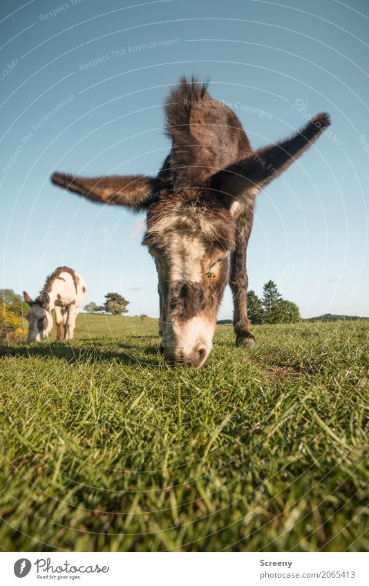 700 | Natural lawn mower Nature Landscape Plant Animal Cloudless sky Spring Summer Beautiful weather Grass Meadow Field Eifel Farm animal Donkey Dog-ear 2