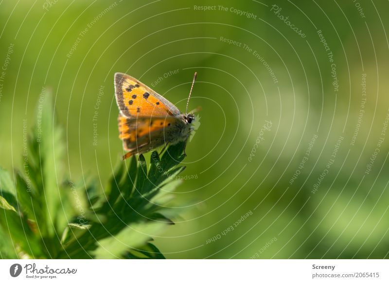 butterflies Nature Plant Animal Spring Summer Beautiful weather Leaf Meadow Butterfly 1 Sit Wait Small Brown Yellow Green Orange Serene Patient Calm Insect
