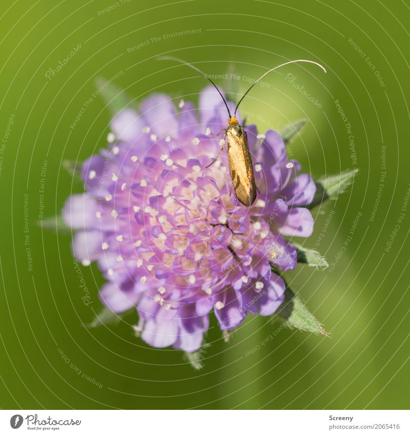 Golden Nature Plant Animal Spring Summer Beautiful weather Flower Meadow Field Beetle 1 Crawl Small Yellow Green Violet Feeler Colour photo Exterior shot Detail