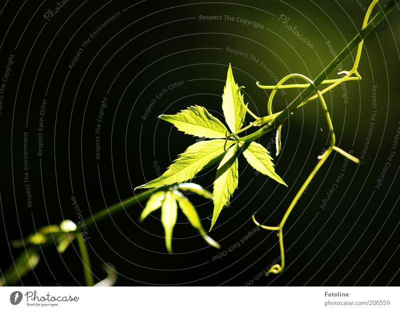 Nature Green Plant Summer Leaf Warmth Bright Environment Illuminate Beautiful weather Tendril Leaf green Vine leaf X-rayed Virginia Creeper