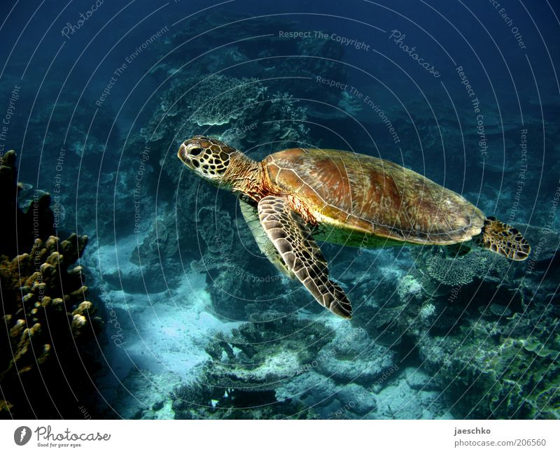 slowness Nature Animal Coral reef Ocean Turtle 1 Esthetic Elegant Exotic Free Large Peaceful Serene Calm Contentment Ease Pure Environmental protection Slowly
