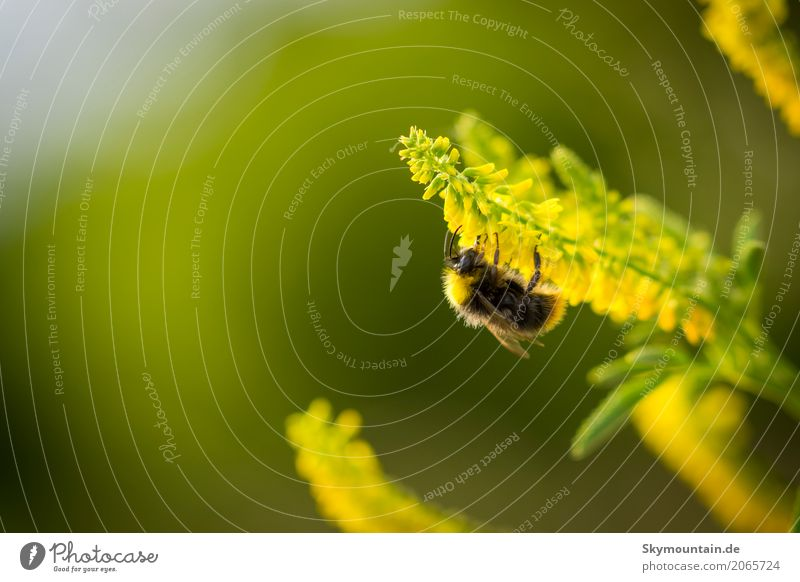 Bumblebee on melilot Environment Nature Plant Animal Sun Sunlight Climate Climate change Weather Beautiful weather Flower Agricultural crop Wild plant Garden
