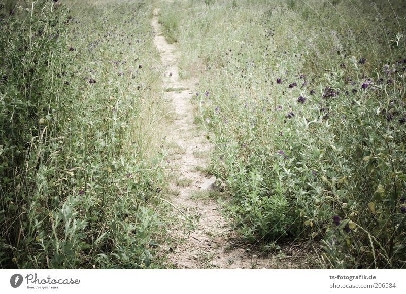 Trampled Path Nature Landscape Plant Earth Sand Drought Grass Bushes Blossom Foliage plant Wild plant Weed Thistle Meadow Lanes & trails Footpath Natural Thorny